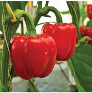 Red Capsicum Vegetable Seeds
