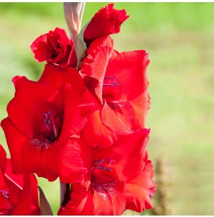 Red Gladiolus Flower Bulbs