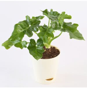 Philodendron Selloum Green Plant With Self Watering Pot