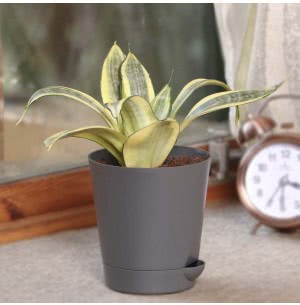 Sansevieria Golden (Snake Plant) With Self Watering Pot