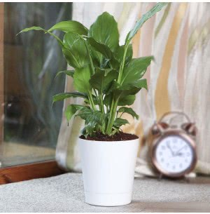 Spathiphyllum Sensation (Peace Lily) Plant With Self Watering Pot