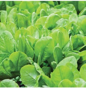 Spinach (Palak) Vegetable Seeds