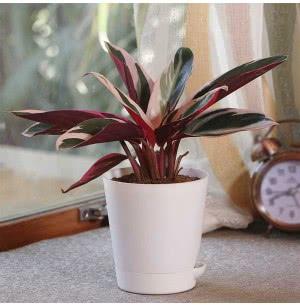 Stromanthe Triostar Plant With Self Watering Pot