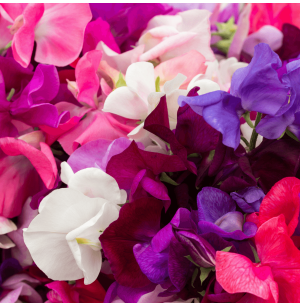 Sweet Pea Royal Mix Seeds