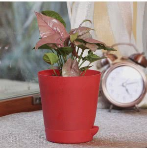 Syngonium Pink Neon Plant With Self Watering Pot