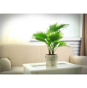 Table Palm Tree Seeds - 100 g