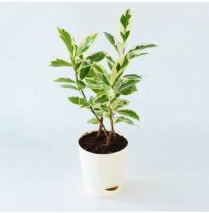 Ficus Prestige Plant With Self Watering Pot
