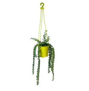 Millionaire Heart Green Plant with Light Green Color Hanging Pot
