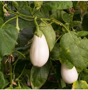 White Brinjal Vegetable Seeds