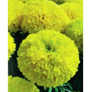 Hybrid Marigold Seeds- Yellow Pride Plus
