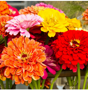 Zinnia Double Mix Seeds