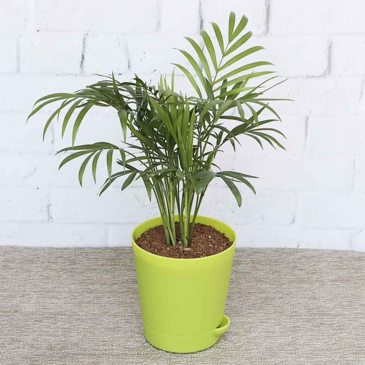 Bamboo Palm With Self Watering Pot Buy Bamboo Palm With