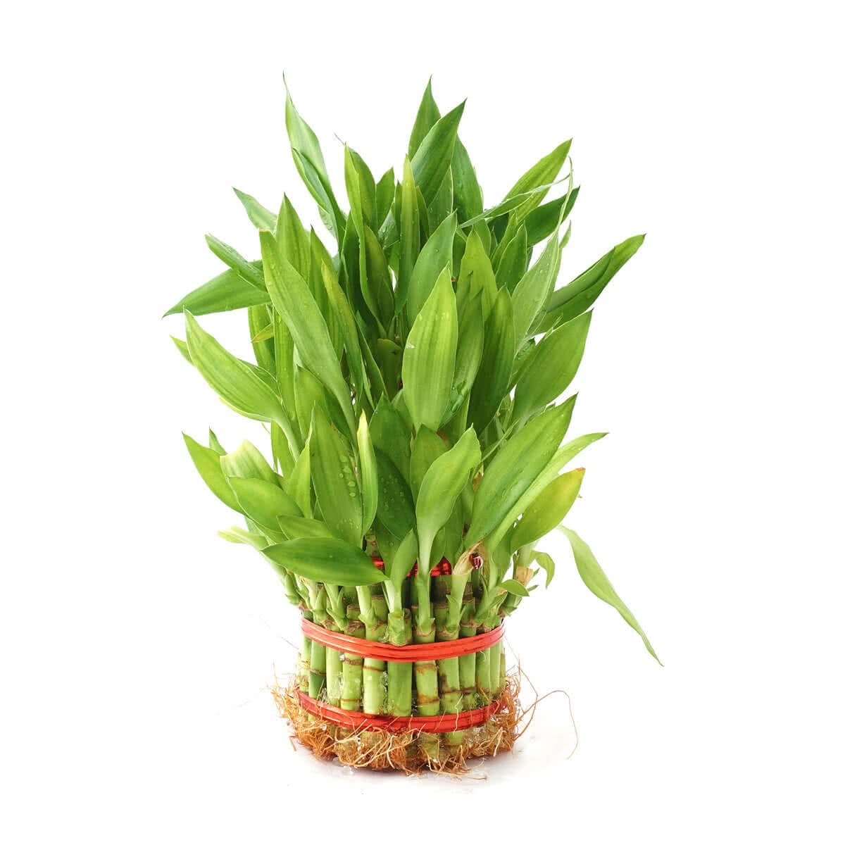 Lucky Bamboo Plant 4 Layer Buy Lucky Bamboo Plant 4