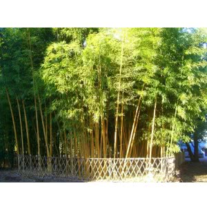 Solid Bamboo Tree Seeds (Dendrocalamus Strictus) - 100 g