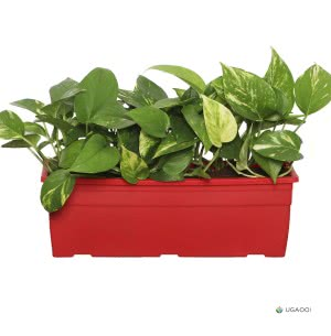 Money Plant Variegated With Self Watering Reca Pot - Set of 2