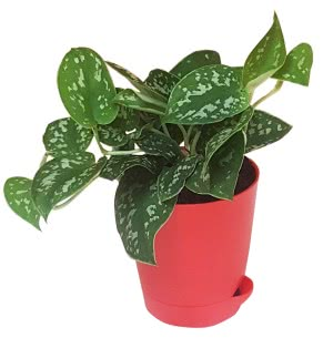 Money Plant Satin with Self Watering Pot