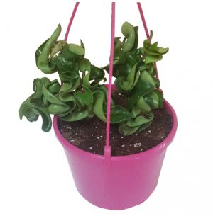 Twisted Hoya Plant with Hanging Pot