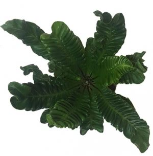 Cobra Fern Plant with 7.5 inch Self Watering Pot