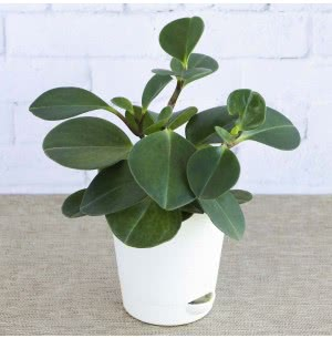 Peperomia Green With Self Watering Pot