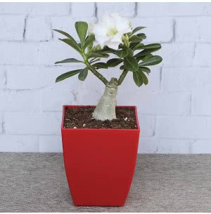 Adenium White Flowering plant
