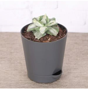 Agave Tropicana Plant With Self Watering Pot
