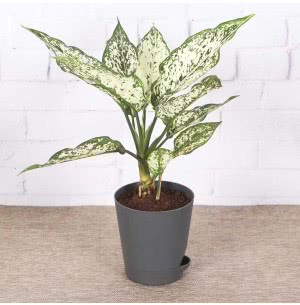 Aglaonema White With Self Watering Pot