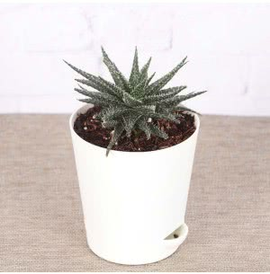 Aloe Pepe Plant With Self Watering Pot