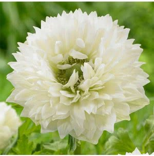 Anemone Mount Everest  Bulbs