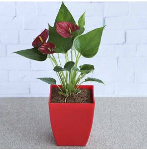 Anthurium Red Plant