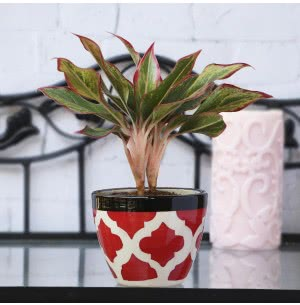 Apple Rose Red Ceramic Pot (3.8 Inch Diameter)