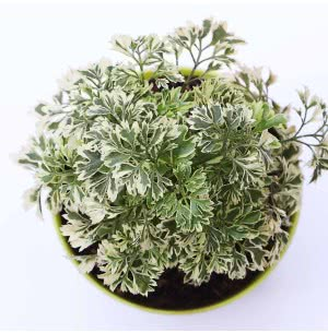Aralia Variegated Mini Plant With Self Watering Pot