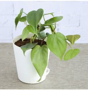 Philodendron Oxycardium Green With Self Watering Pot