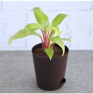 Philodendron Ceylon Golden Plant With Self Watering Pot
