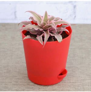 Earth Star Plant Pink With Self Watering Pot