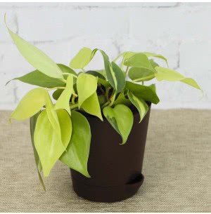 Philodendron Oxycardium Golden With Self Watering Pot