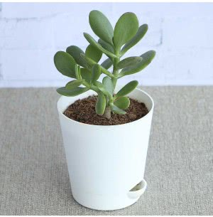 Crassula Ovata With Self Watering Pot