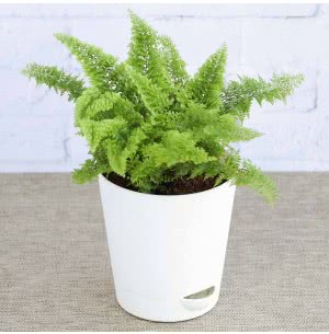 Fern Morpankhi With Self Watering Pot