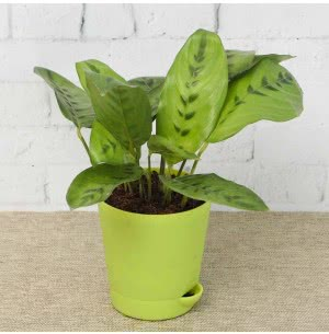 Calathea Faux Green Plant With Self Watering Pot