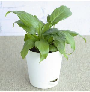 Spathiphyllum Viscount (Peace Lily) With Self Watering Pot