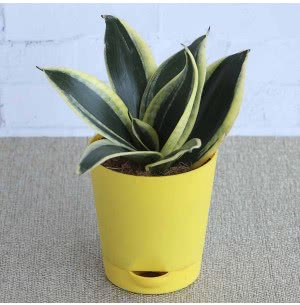 Sansevieria Golden Hahnii (Snake plant) With Self Watering Pot