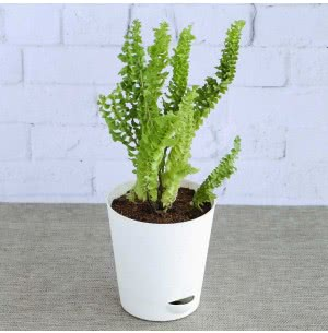 Fern Emina Plant With Self Watering Pot