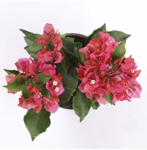 Bougainvillea Red