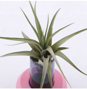 Bound By Love Glass-Cement Planter With Hardy Tillandsia Air Plant