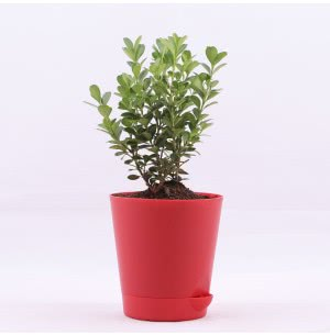 Boxwood Buxus Plant With Self Watering Pot