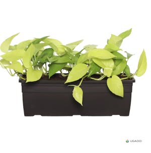 Money Plant Golden Plant With Self Watering Reca Pot - Set of 2