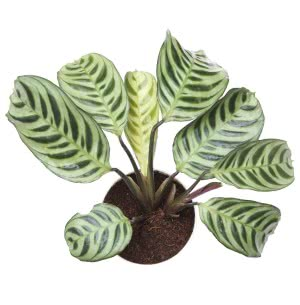 Calathea Burle Marxii With Self Watering Pot