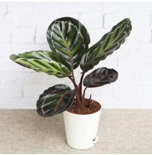 Calathea Rosea-Picta Plant With Self Watering Pot