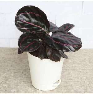 Calathea Roseopicta Dottie Plant With Self Watering Pot
