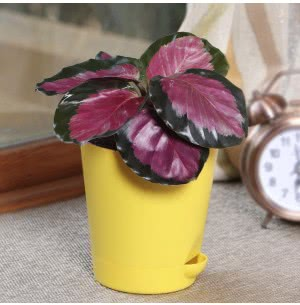 Calathea Roseopicta Pink Plant With Self Watering Pot