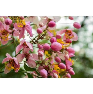 Cassia Javanica Tree Seeds (Pink Shower Tree) - 100 g
